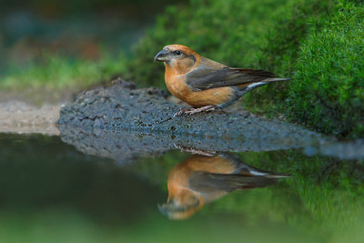 Fingers crossed for the Crossbill